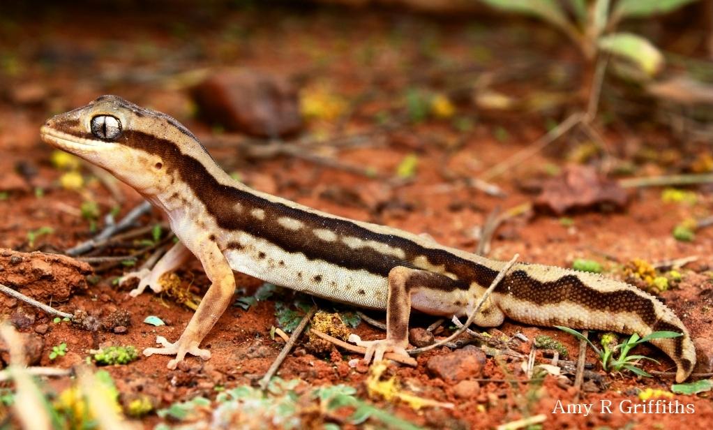 Diplodactylus granariensis rex