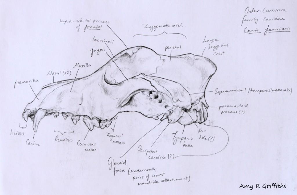 Notes on dog skull anatomy | Amy Wild
