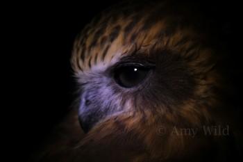 Boobook Owl