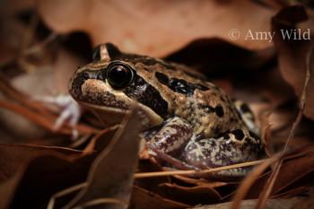 Banjo Frog