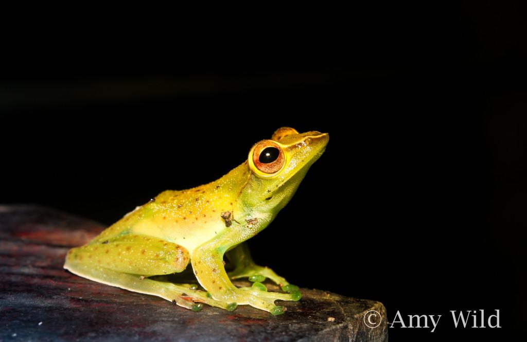 Malayan Flying Frog