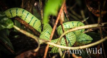 Bornean Keeled Green Pit Viper