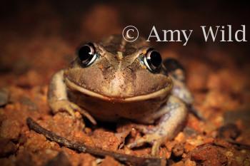 Western Banjo Frog