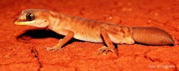 Diplodactylus mitchelli