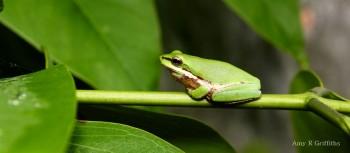 Litoria bicolor