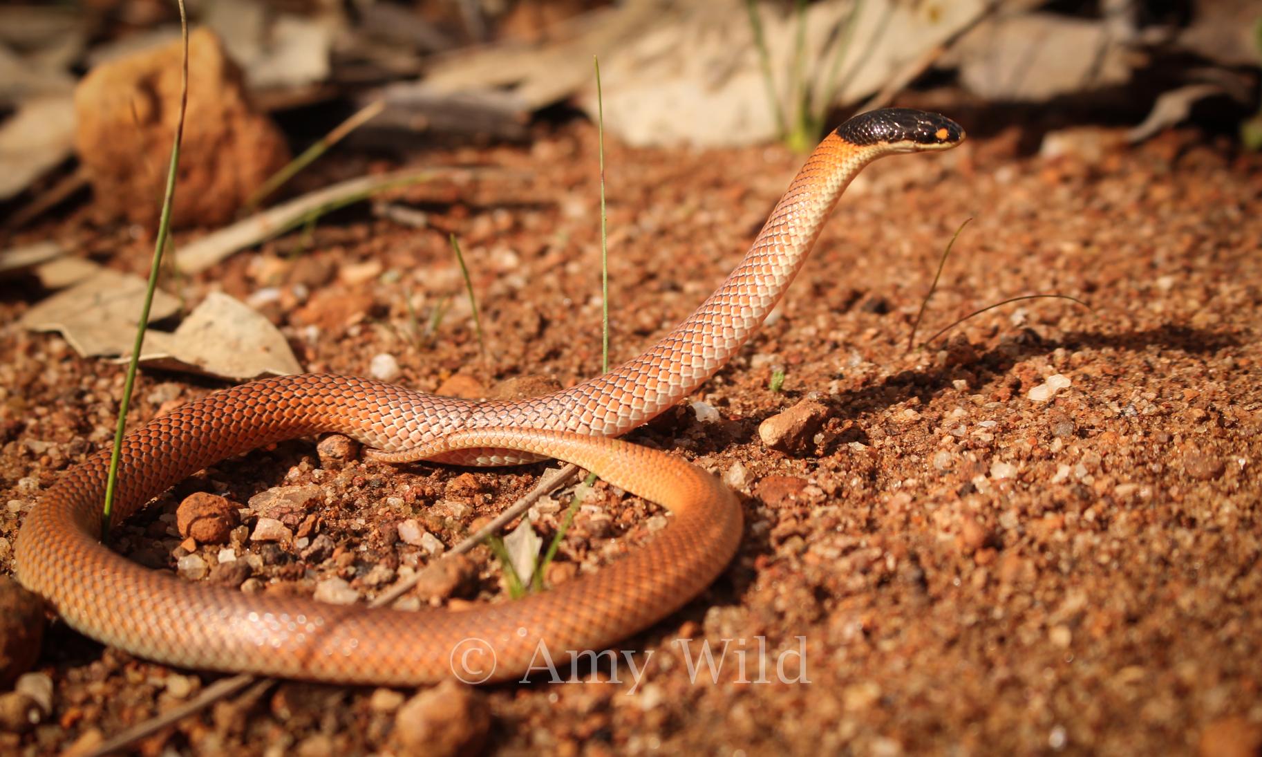 Australian Snake