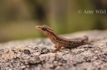 Crenadactylus occelatus occelatus
