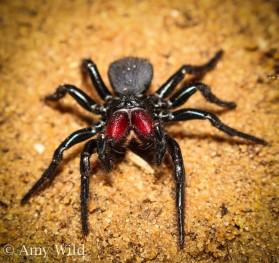 Mygalomorph Trapdoor Spider