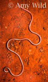 Ramphotyphlops waitii
